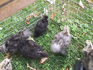 Silky chicks partridge blue grey black mix