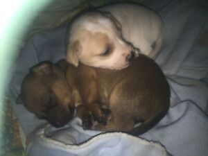 Chihuahua x Mini Foxie Pups