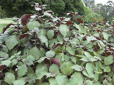 100 Samen Perilla Shiso Rot-Grün Sesamblatt Salat Gewürz Schwarznessel Zi Su
