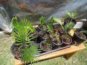 CYCAD PLANT - REVOLUTA - SAGO PALM Edithvale Kingston Area Preview