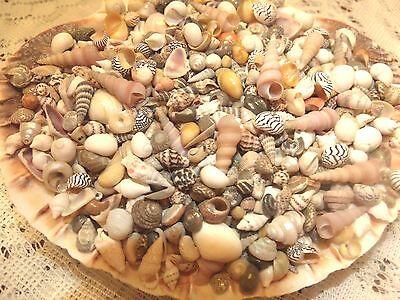 300 MINI Tiny Seashells Mix Crafts Wedding Favors Vase Filler Fairy Garden  -