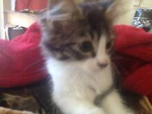 Lovely Kittens - Microchipped Donvale Manningham Area Preview