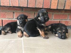 PEDIGREE GERMAN SHEPHERD PUPPIES FOR SALE
