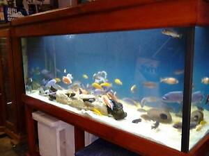 AFRICAN CICHLIDS FOR SALE THE LOT Ramsgate Rockdale Area Preview