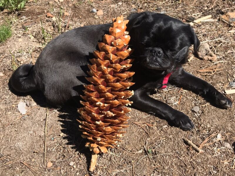 3 Giant Sugar Pine Cones, 12 - 15inches, From Northern California