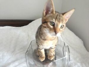 Savannah Cubs (Kittens) for sale! Peterborough Peterborough Area image 3