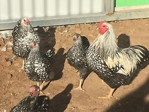 Silver spangled bantams Finley Berrigan Area Preview