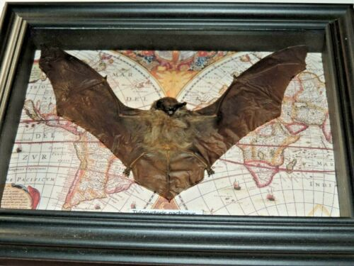 REAL bat FRAMED  mounted taxidermy SHADOWBOX  ART GIFT INSECT  lot butterfly