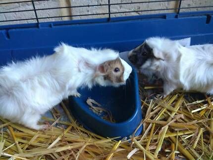 Guiney pigs - two cute sisters