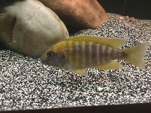 African cichlids for sale only males left
