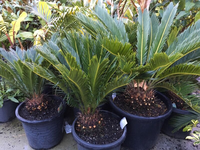 Cycads advanced size 300mm and 400mm pots Sago Palm
