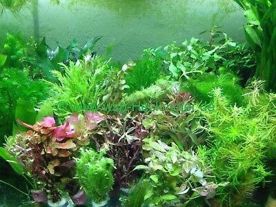 Pflanzen Mix Aquarium 65 Aquariumpflanzen + Mooskugel (€0,28/Stk) (Fisch-aquarium Pflanzen)