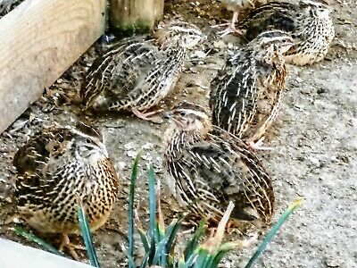 Salejumbo Brown-meatmaker-quail Hatching Eggs 25-2 Dozenshipping Included