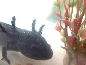 Black male axolotl 1 year old - pick up hawthorn east Hawthorn East Boroondara Area Preview