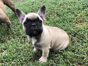 Purebred pedigree male French Bulldog Puppy
