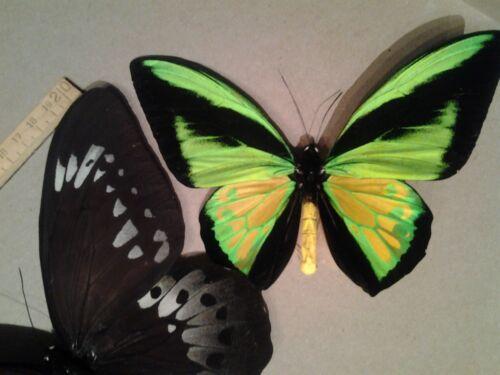 Ornithoptera Goliath Procus  A1 GIANT PAIR - Unmounted Male & Female