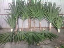 Yuccas and Variagated Red Cordyline $10 per metre East Geelong Geelong City Preview