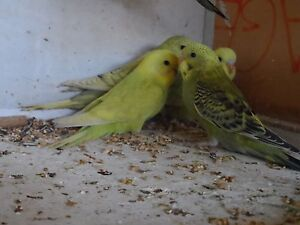 BUDGIES Morphett Vale Morphett Vale Area Preview