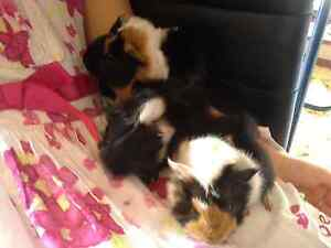 Gorgeous peruvian baby girls  guinea pigs $60 each  $150 ×3 Terrigal Gosford Area Preview