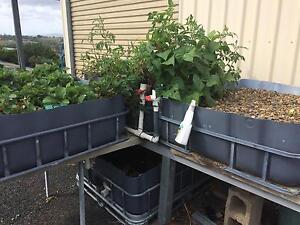 Aquaponics system Tallegalla Ipswich City Preview