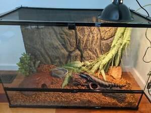 Awesome Blue Tongue Lizard and Enclosure Setup