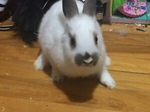 Male bunny 11 weeks old  with cage 80$ obo