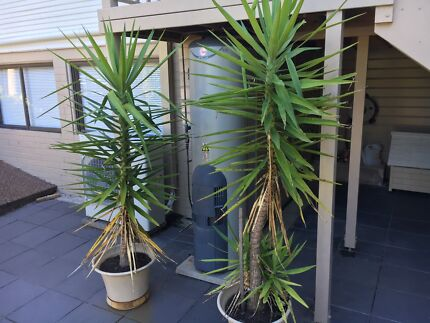 Yuccas in pots. In very good condition