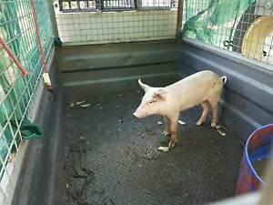 Pig for spit female 3 mth old $100 can deliver