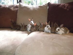 Baby Bunnies For Sale - Family-Friendly Davidson Warringah Area Preview
