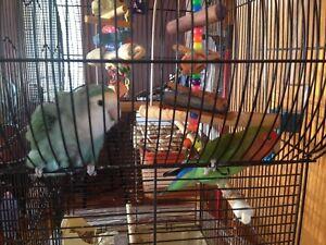 Couple d'inséparable avec cage