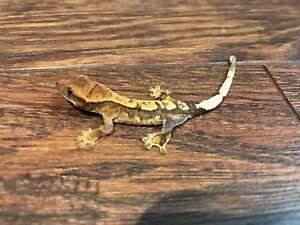 Bébé Geckos à Crête / Baby Crested Geckos