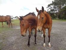 Well trained showjumper/eventer/ARC/PC mount Albany Albany Area Preview