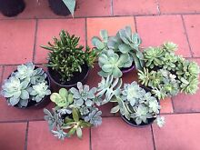 Succulents Jacana Hume Area Preview