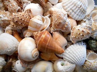 Large Sea Shells (1/2 Lb Large Indian Ocean Shell Mix Seashells Beach Cottage Decor Nautical)