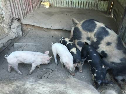 4 Piglets and 1 Pig For Sale Upper Brookfield Brisbane North West Preview