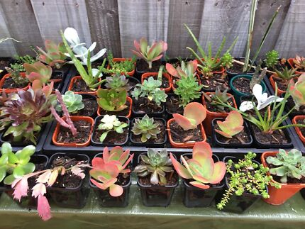 Succulents in 80 - 100 ml pots $3 each
