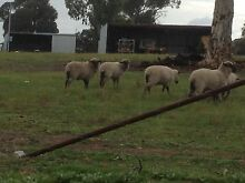 Cross Bred Lambs Wagin Wagin Area Preview