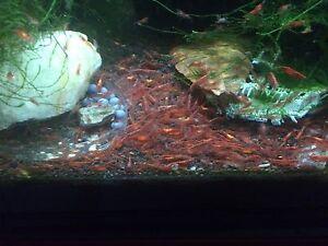 10 Red Cherry Shrimp Free Aquarium Apple Snail & Java Moss