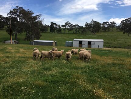 Southdown x wether lambs for sale - sheep
