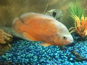 Large Red Oscar fish