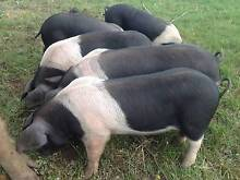 Pigs Wessex Saddleback Piglets Cobden Corangamite Area Preview