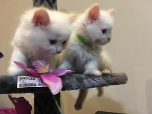 Stunning Ragdoll litter available Hurstbridge Nillumbik Area Preview