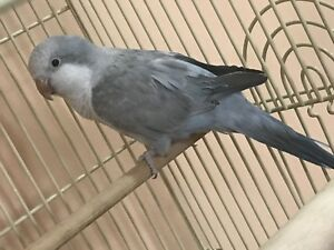 Rear color Quaker baby bird 5-6 months old