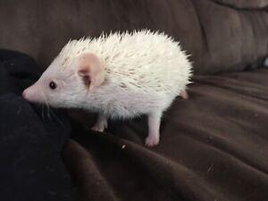 Male hedgehog!