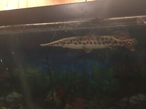 True spotted Gar pike male/female for sale to good