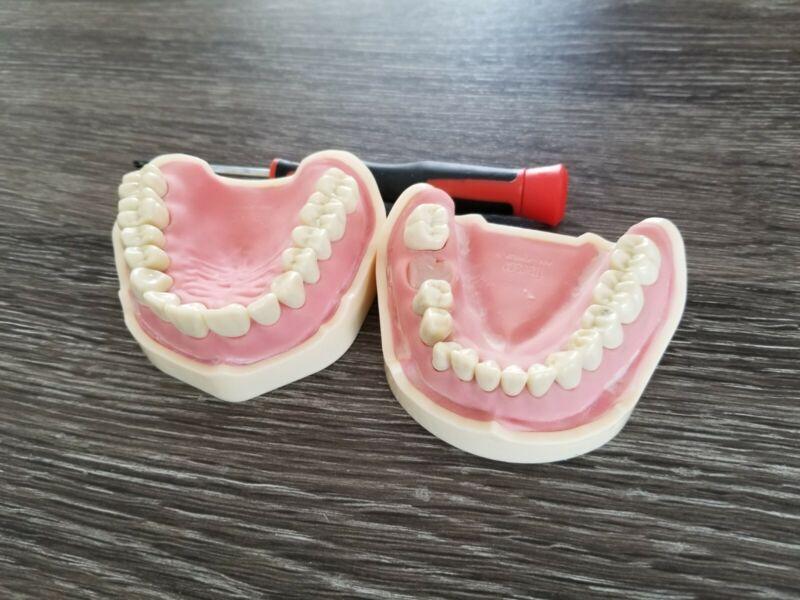 Frasaco Typodont Soft Gingiva with free teeth