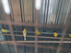 Canaries for sale Warrandyte South Manningham Area Preview