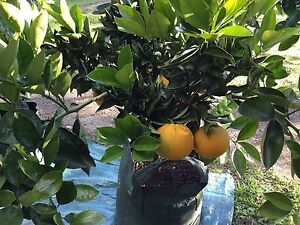 ORANGE NAVEL Arcadia Hornsby Area Preview