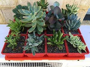 Succulent Mixed trays Mindarie Wanneroo Area Preview