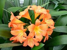 CLIVIA PLANTS FOR SALE Huntfield Heights Morphett Vale Area Preview